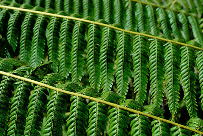 One of the 160+ species of fern in New Zealand. Abel Tasman NP.