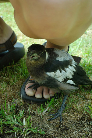 This young (still fledging) Tasmanian Magpie was rescued by the fine folks at the Discovery Lodge campground when she fell from a nest. Maggie's tremendously friendly. Loves to be petted, sit on your feet, or hunt for moths with you. Tongariro National Park.