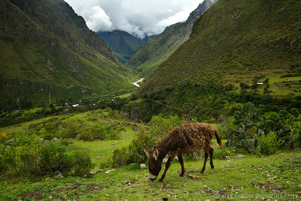 Donkey along the Inca Trail