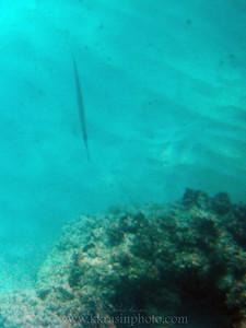 A long fish