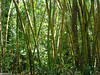Bamboo, which is not native to St. Lucia, is the national plant.