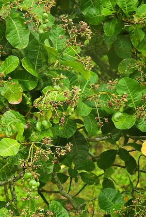 A cashew tree
