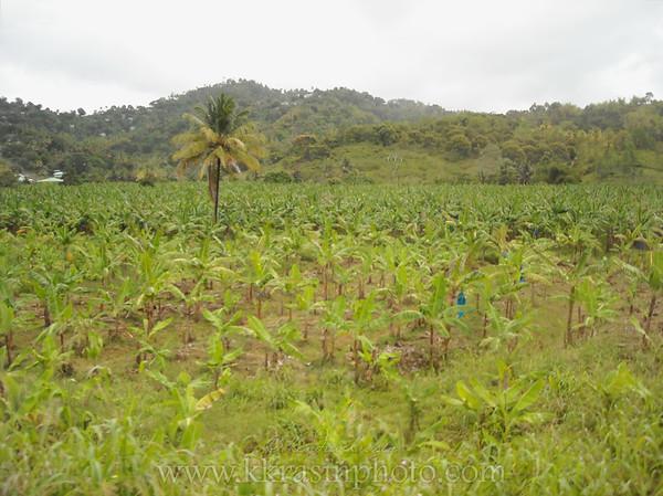 The banana plantation