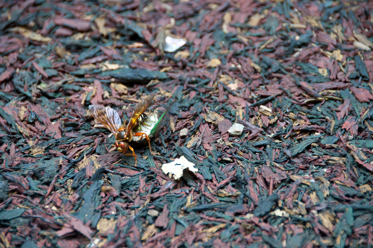 Cicada Killer killed a cicada.  These and the wasp/bee info were right next to the prairie dogs and kids play area.  Needless to say, kids don't like playing in the prairie dog tunnel playset with these big things flying around.