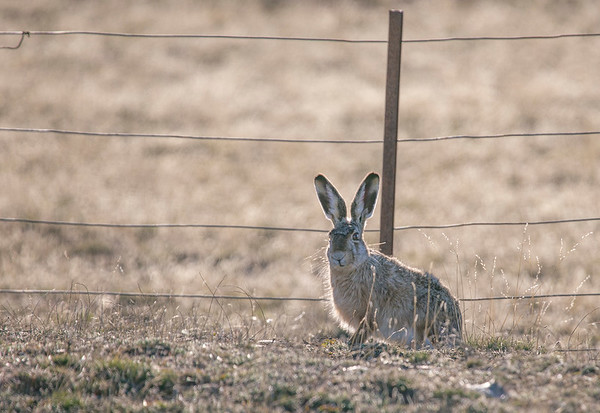 A rabbit along the road leading out of Pali Aike