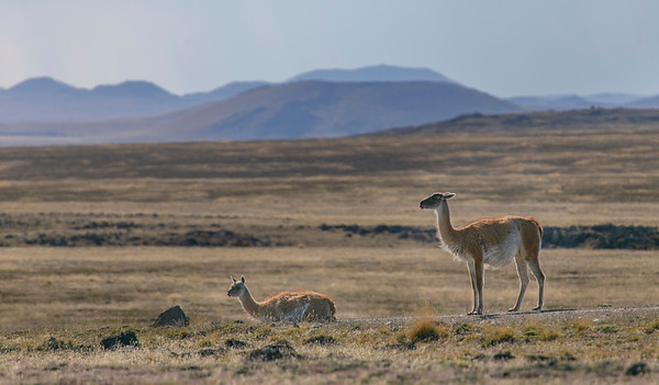 A couple of guanaco along the road in Pali Aike Park