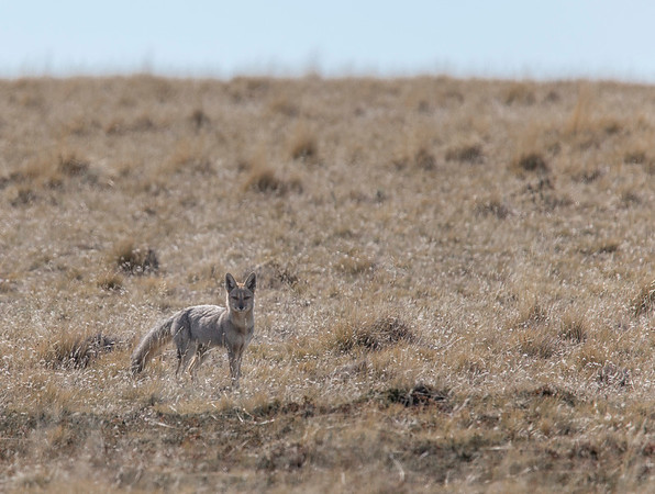 I spot a South American Grey Fox watching me from a nearby field
