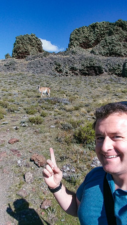 A guanaco... right there!