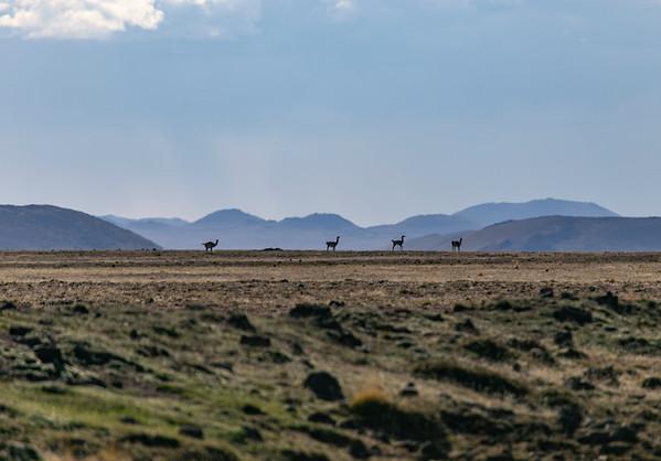 Four guanaco on the horizon of Pali Aike