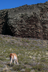 A guanaco in front of the Pali-Aike cave