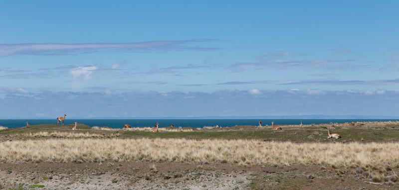 Guanacos along the Strait of Magellan