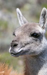 Close-up of a guanaco