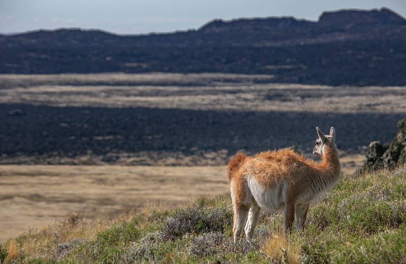 A guanaco up on the hill of the Pali-Aike cave