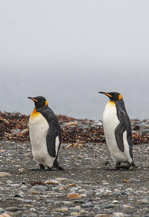 Two King penguins out on the shores of Inútil Bay