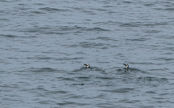We pass some Magellanic Penguins, who are on their way south