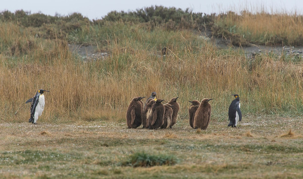 There are tons of baby King penguins here and many of the adults are molting right now