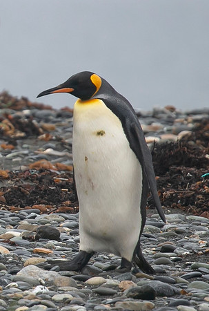 A king penguin heading in off the beach