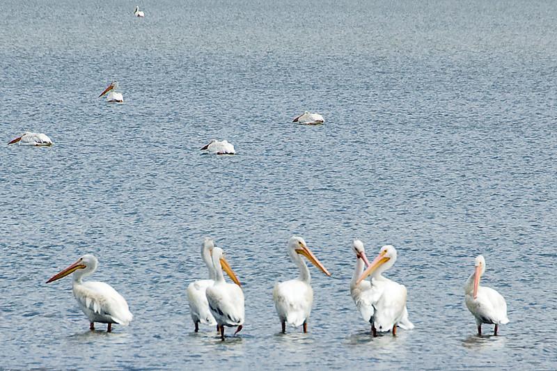Pelicans in the desert at Mann Lake.