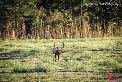 20160917-BoxleyValley-Elk-17wm