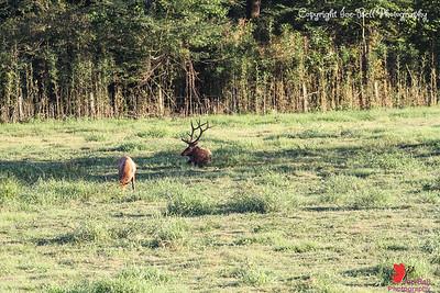 20160917-BoxleyValley-Elk-01wm
