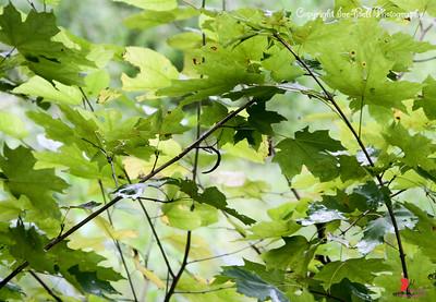 20160918-Ponca Arkansas - Walking Sticks - 03w