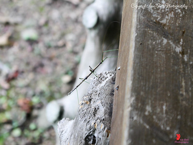 20160918-Ponca Arkansas - Walking Sticks - 06w