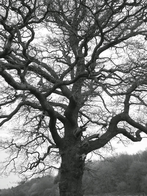 From the land of Kings. this tree was one of many. beautiful and ancient.
