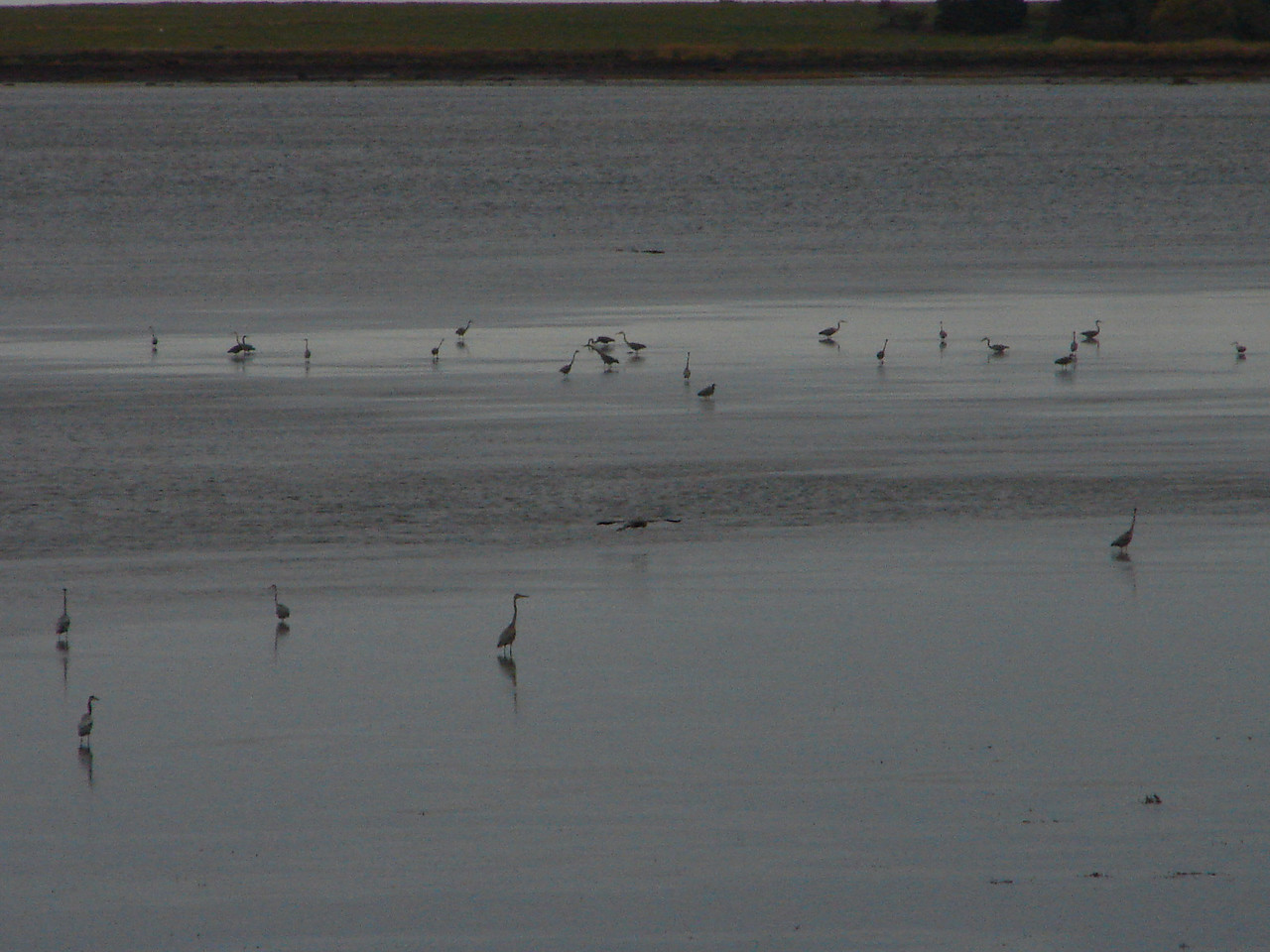 Heron the beach