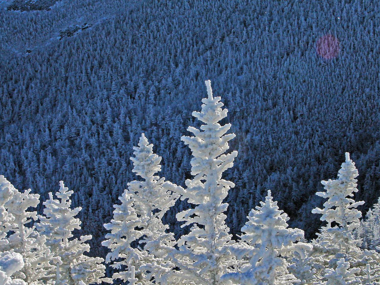 Christmas white. The snow frozen to the trees.
