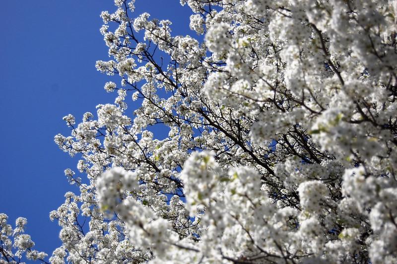 Bradford pear tree in Roanoke, VA