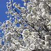 Bradford pear tree in Roanoke, VA