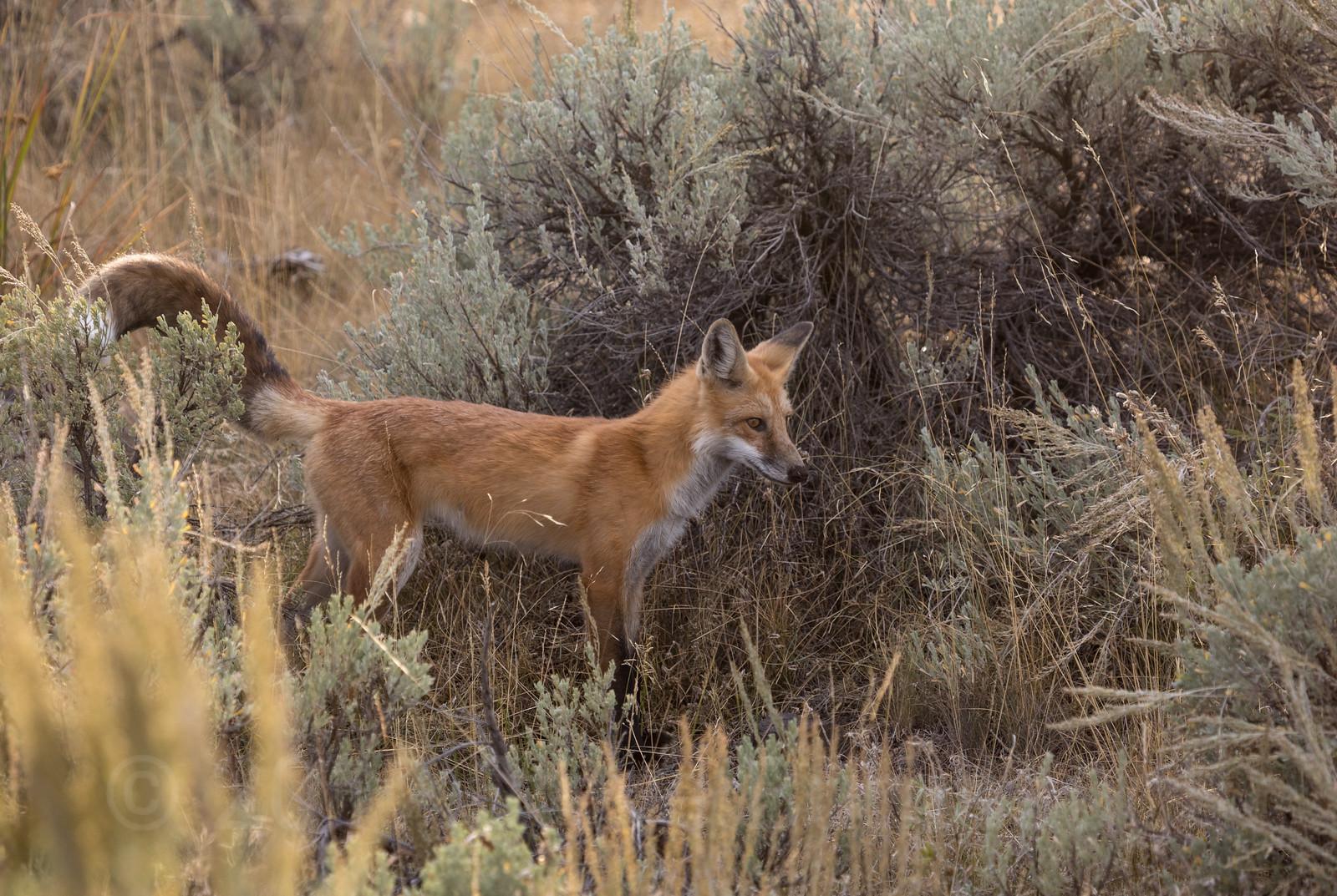 Locked On Red Fox