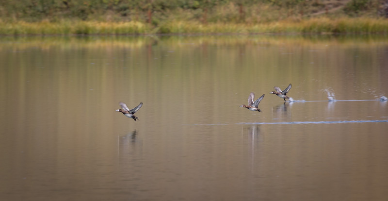 Flock of Scaup