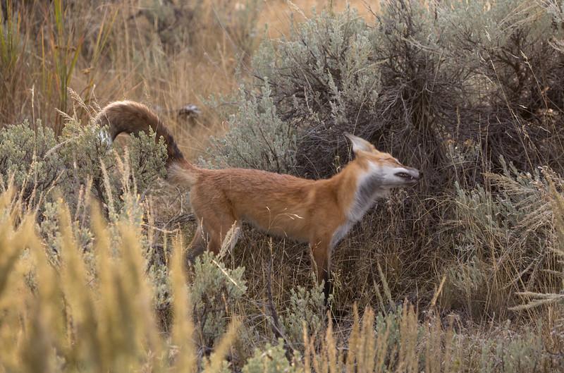 Red Fox Head Shake