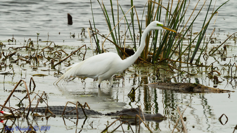 Great Egret and Alligator at Brazos Bend Park, Texas.