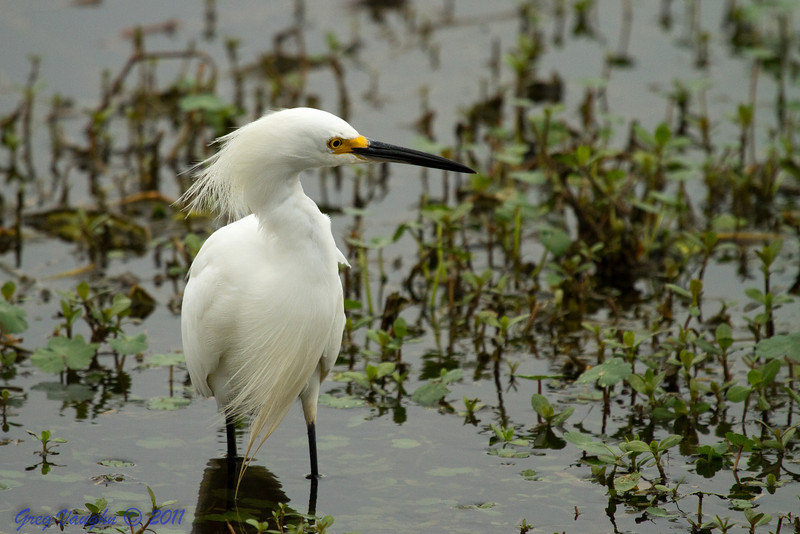 Snowy Egret at Brazos Bend Park, Texas.