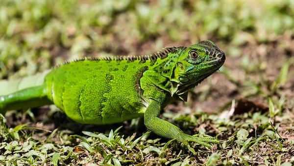 Green Iguana run