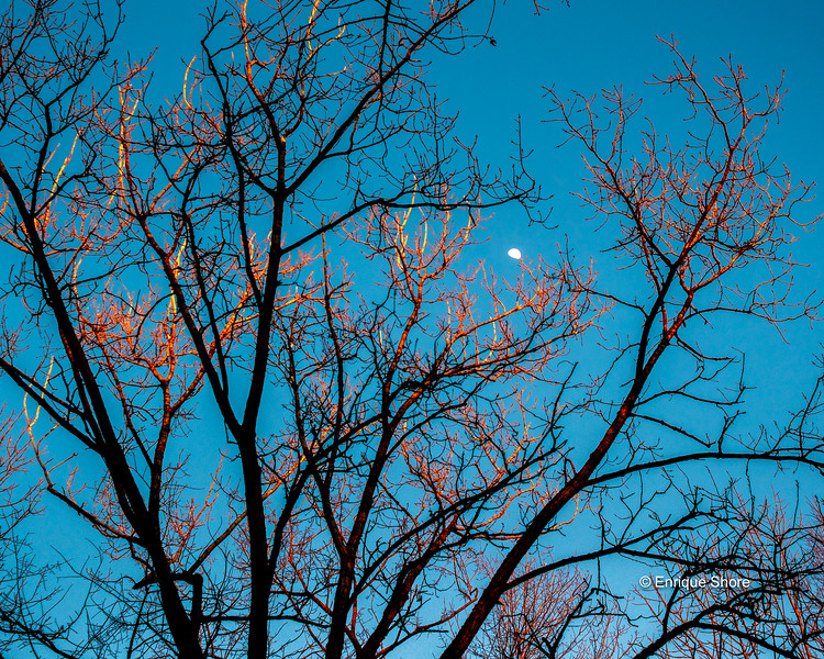 The last sunshine seems to lit on fire the leafless treetops against the distant moon. Photo by Enrique Shore