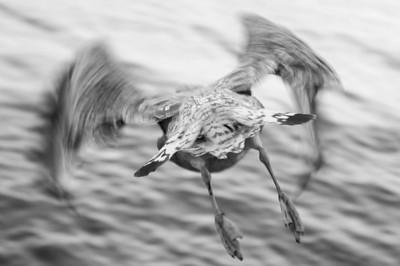 Thames Bird