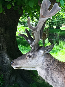Portrait of a Stag