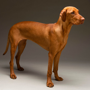 Margot the Hungarian Vizsla