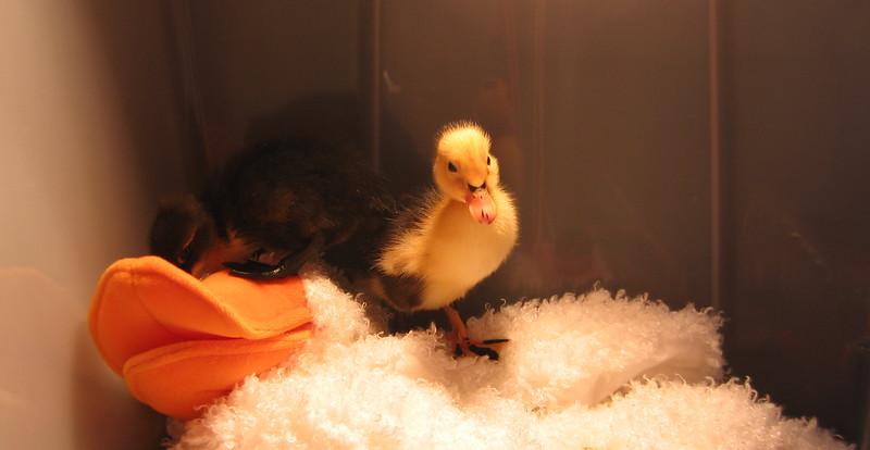 "Ducks on the ""goose mom"""