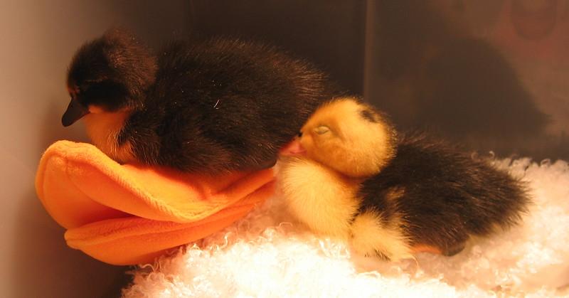 And more sleepy ducks