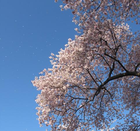 petals blowing away in the wind... it was snowing cherry petals down below.