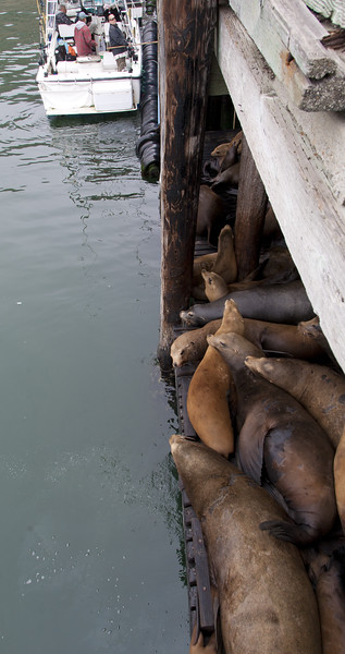 sea lions under the dock in Avia Beach, CA