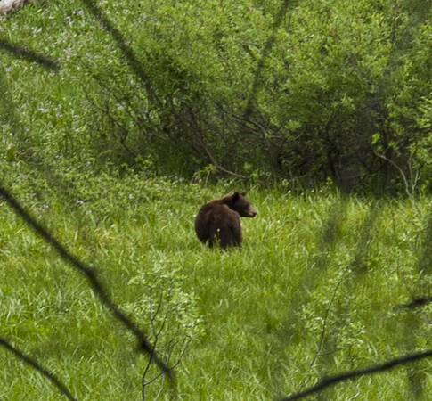 Zoom in of a black bear we see along the road on the way to our hotel