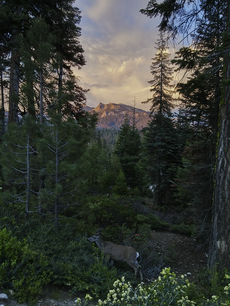 a deer in the trees out in front of our hotel in Sequoia