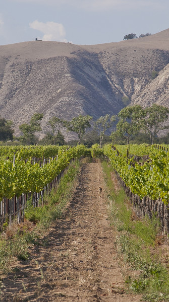 a coyote wanders down a vineyard row
