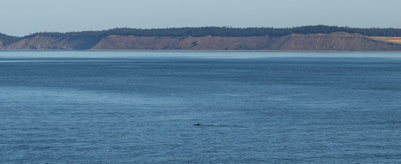 We see a harbor porpoise on the way out of the dock!