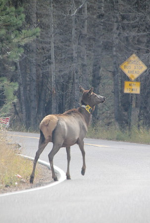 Some elk on the road...